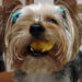 Best Foods for Yorkshire Terriers
