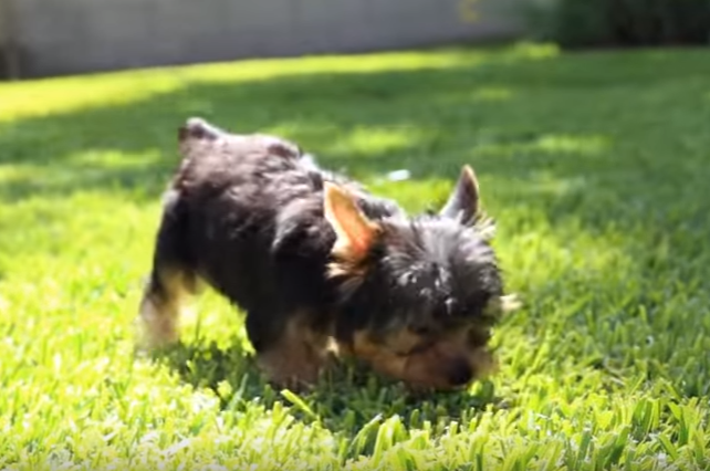 Four Yorkie Puppies' First time on Grass