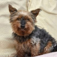 jack - oldest Yorkshire Terrier