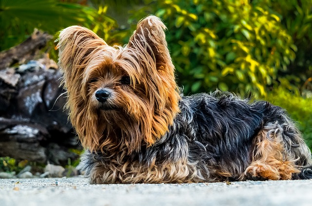 Spaying and Neutering Yorkshire Terrier