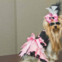 Pretty Yorkshire Terrier Therapy Dog at Palm Beach Hospital