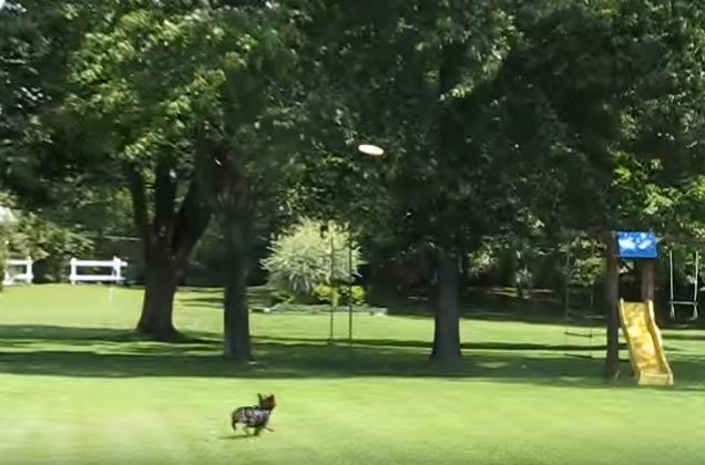 Amazing Yorkshire Terrier Frisbee Catcher