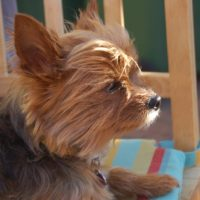 What To Do When Your Yorkie Is In Heat