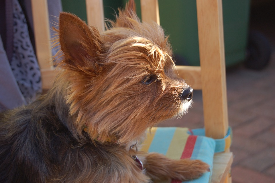 What To Do When Your Yorkie Is In Heat Yorkshireterrierguidecom