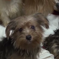 80 Yorkshire Terrier and Terrier mixes rescued from feces-filled house in Poway
