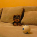 Yorkie vs ball