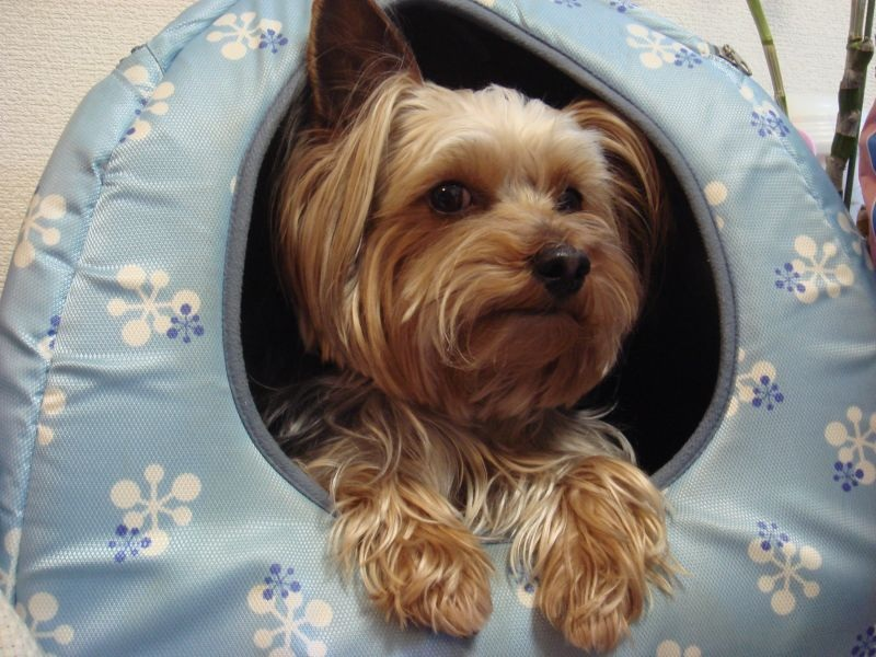 Pay attention to health problems in Yorkies
