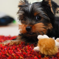 Allergies in Yorkshire Terrier