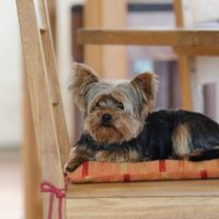 Know why your Yorkie refusing to eat