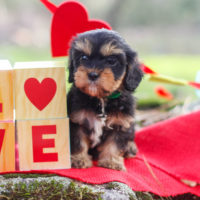 Reasons Why You Should Own A Yorkie