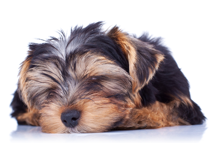 Seizure in Yorkshire Terriers