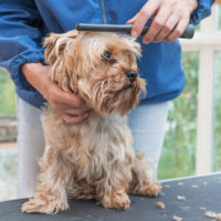 Hair Loss in Yorkshire Terriers