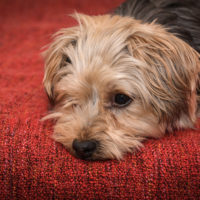 Anxiety in Yorkies a serious issue