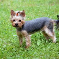 Yorkie Potty Training: Yorkshire Terrier Walking Outdoors