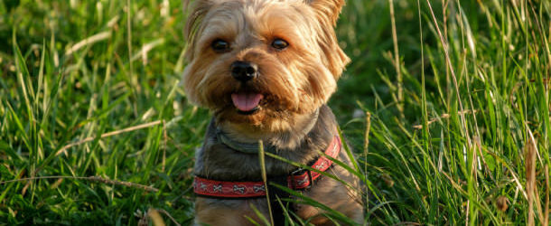 Yorkie on the grass