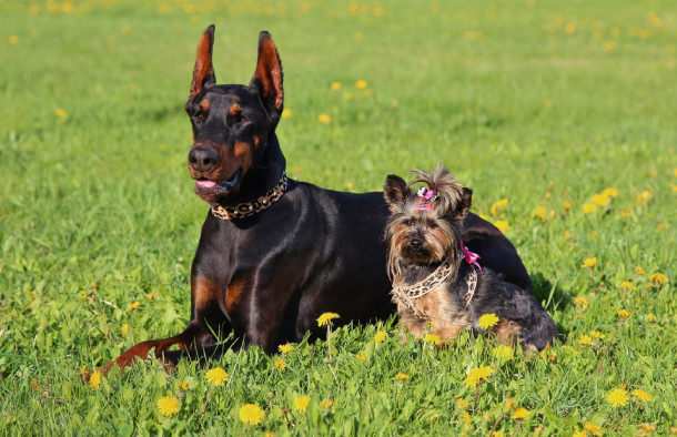 Yorkie with a doberman