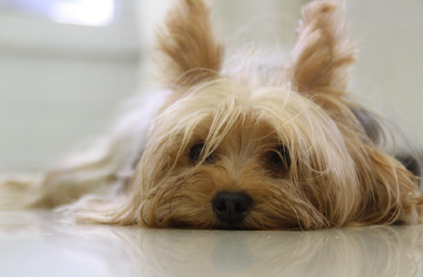 Best Dog Food For Yorkies With Allergies Yorkshireterrierguidecom