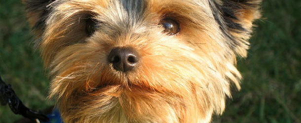 Yorkshireterrierguidecom Tips Advice For Yorkshire Terrier Lovers