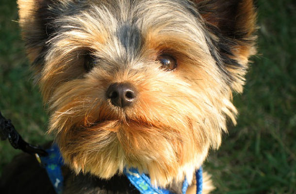 Yorkie puppy with blue collar