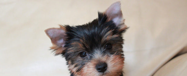 Yorkshireterrierguide Com Tips Advice For Yorkshire Terrier Lovers