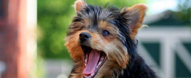 Yorkie Barking